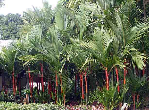 pinang-merah-cyrtostachys-renda