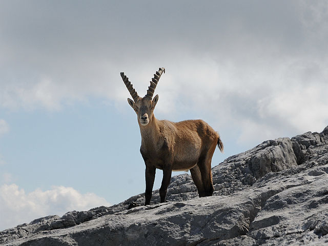 kambing_gurun_alpine