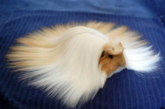 rambut-marmut