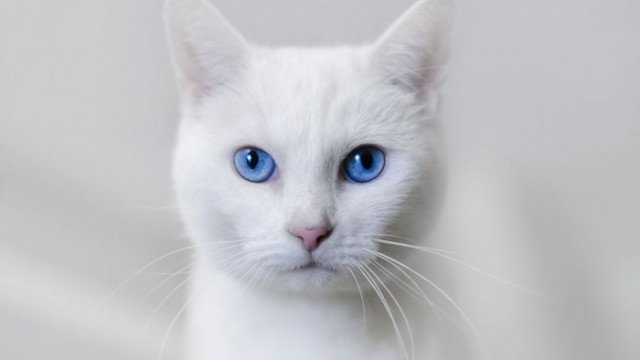 white-cat-blue-eyes-640×360