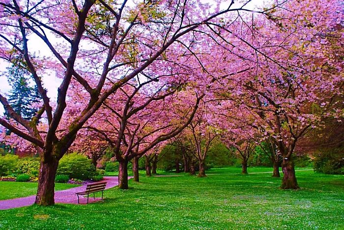 apple blossom path canada