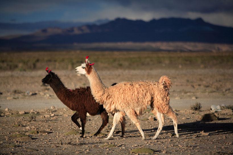 Bolivia-R-Brodey-Salar-de-Uyuni-Llamas
