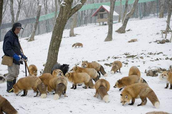 fox-village-japan