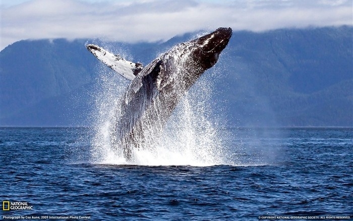 Humpback_Whale-Chatham_Straight-_National_Geographic_wallpaper_selected_medium