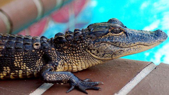 buaya-alligator