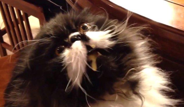 kucing-otak-beku