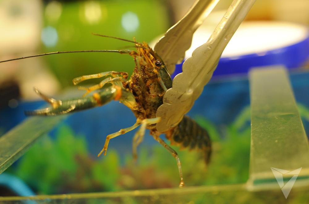 05 F&C Reddish Crayfish
