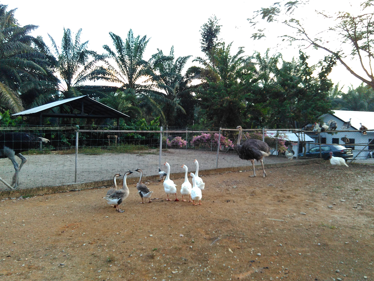 Angsa, burung unta, ayam-ayam, ayam belanda - antara spesis burung yang tinggal di Adelia Hill Farm.