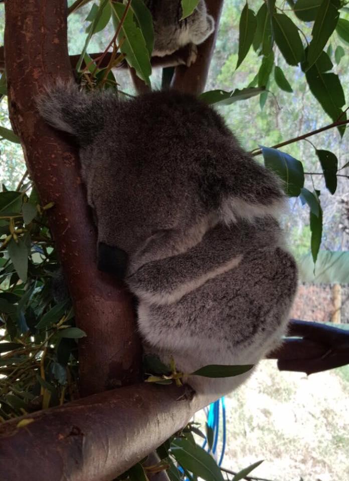 Koala asik tidur sahaja