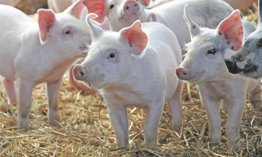 oragan babi