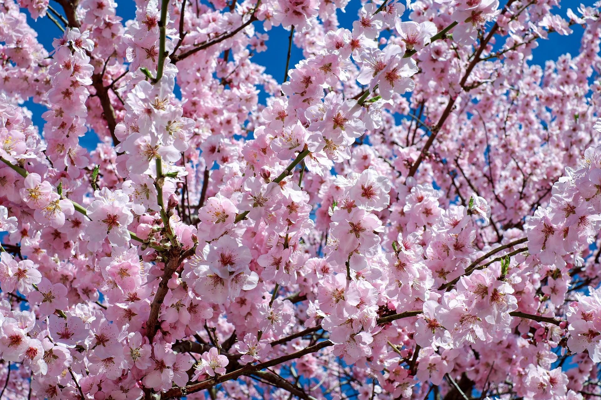 japanese-cherry-trees-pixabay
