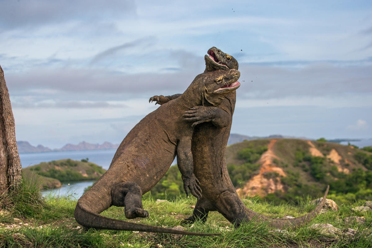 Two-Komodo-dragon-fight-with-each-other.-Indonesia.-1