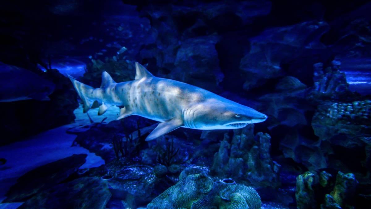 Sand-Tiger-Shark_02-1