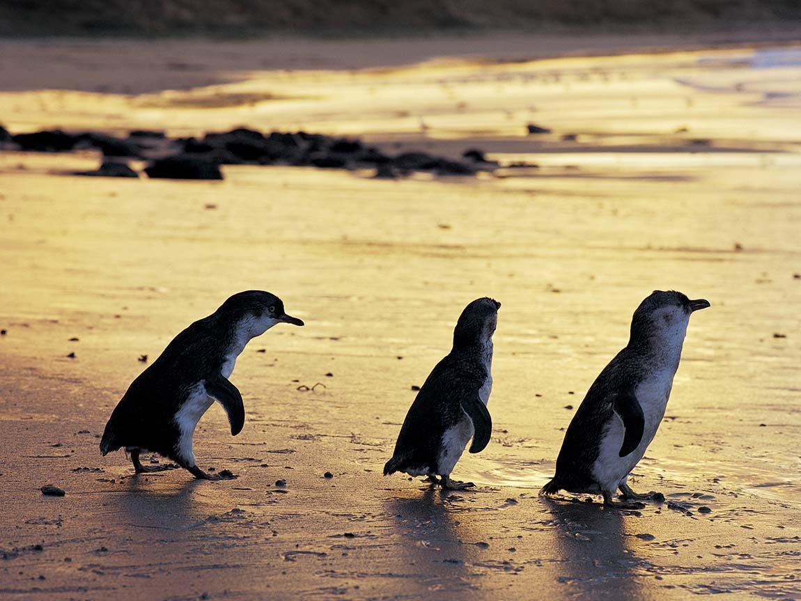 penguins-phillip-island-nature-park_pi_r_1052997_1150x863