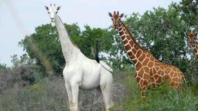 skynews-white-giraffe-kenya_4944490