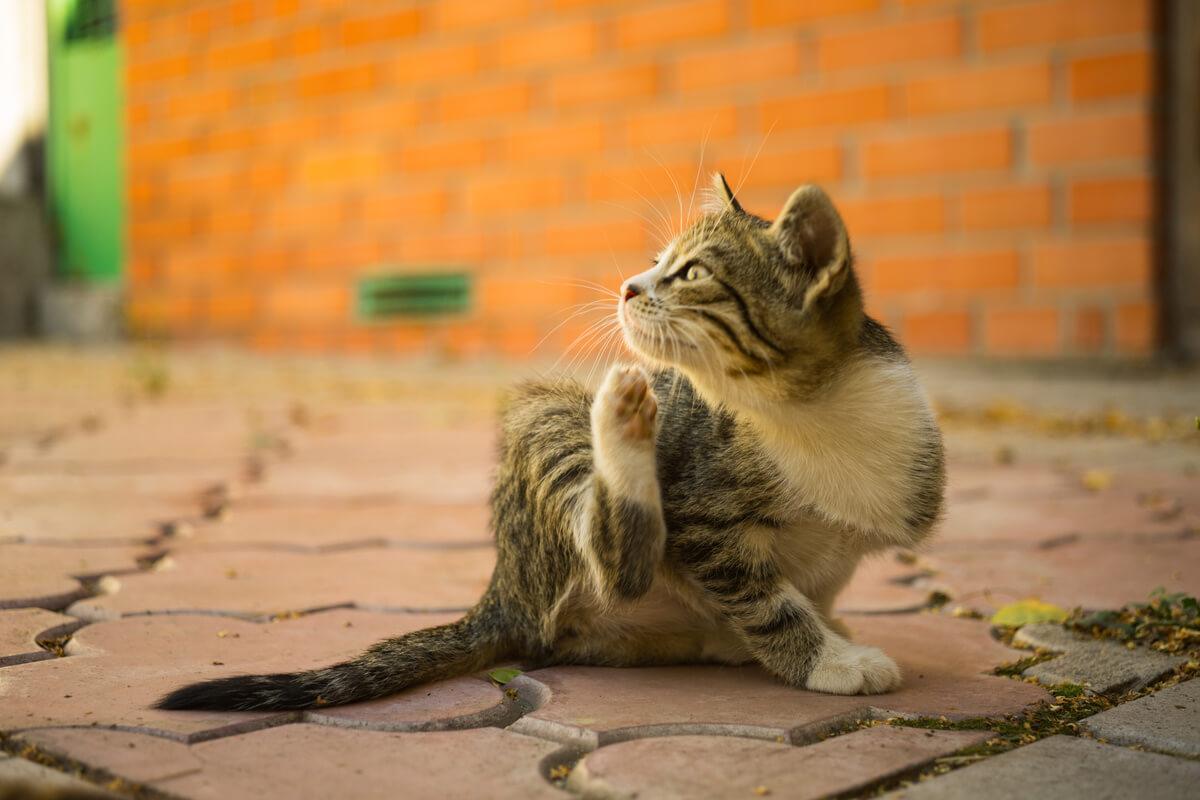 Kutu-kucing
