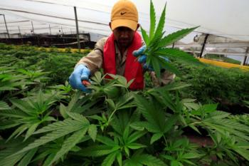 A man gathers marijuana plants for medicinal use at the company Pharmacielo in Rionegro,